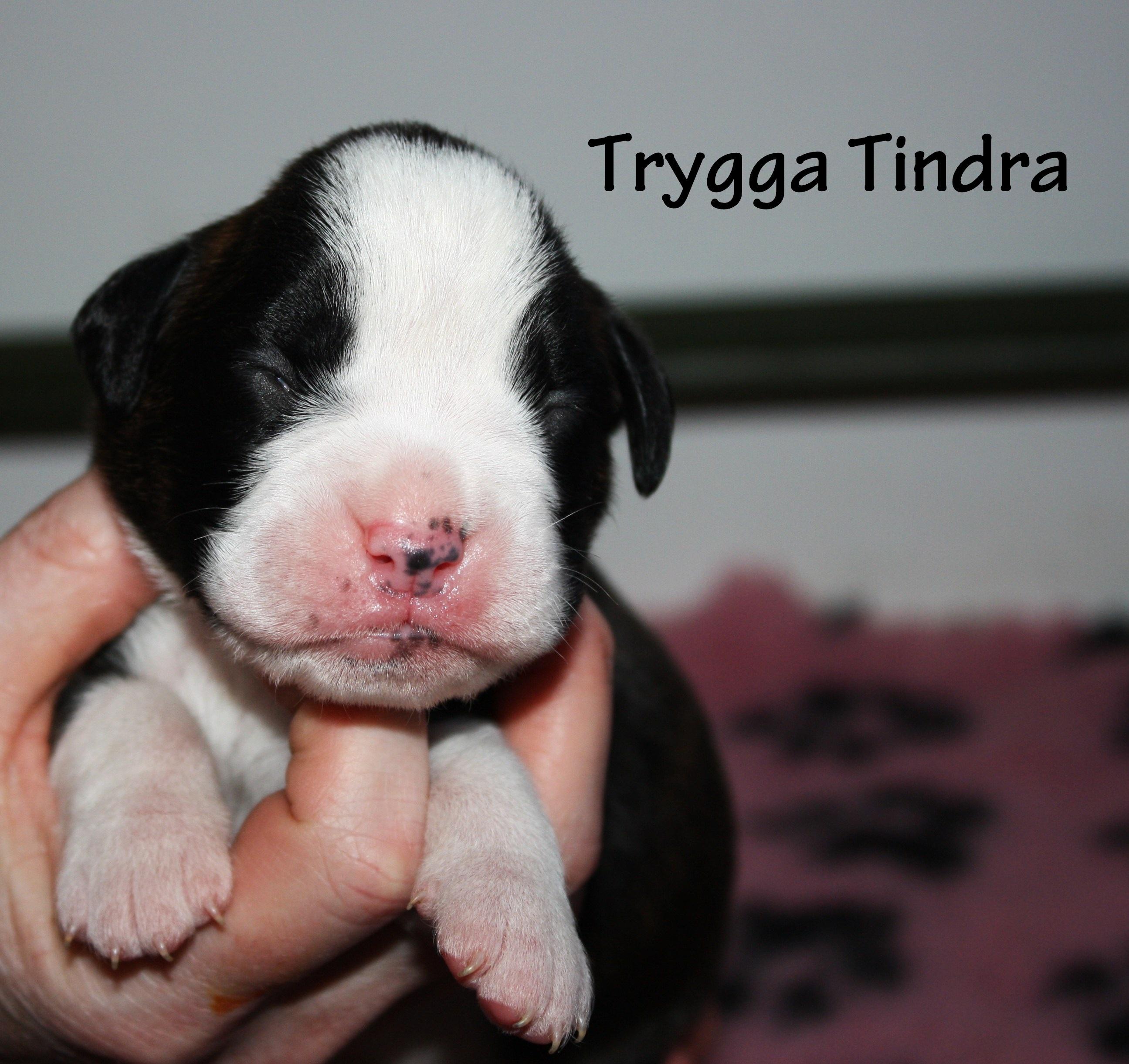 Trygga Tindra