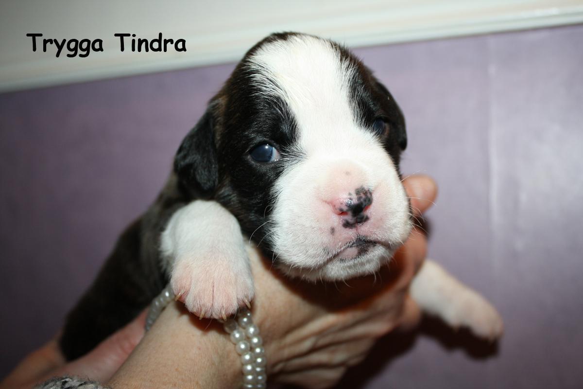 trygga-tindra-2v